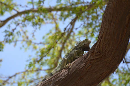 Iguana making his way up a tree trunk. Stock Photo