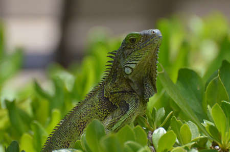 Green common iguana perched in the top of a green shrubbery.