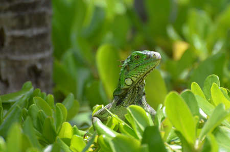 Small green iguana perched in the top of a green shrub. Stock Photo