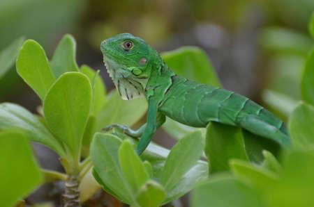 Brilliant green common iguana sitting in shrub tops.