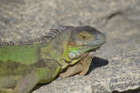 Green iguana sitting on the top of a rock ledge.