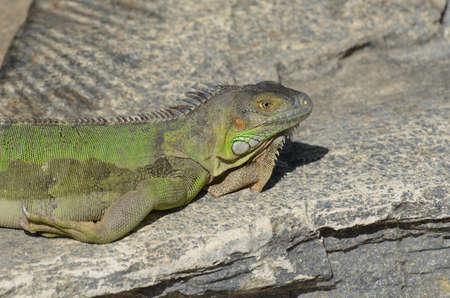 sunning: Green iguana sunning himself on rocks in the sun. Stock Photo