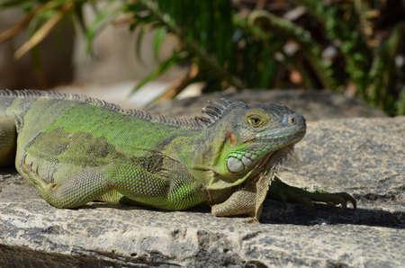 Green iguana sunning on a rock ledge. Stock Photo