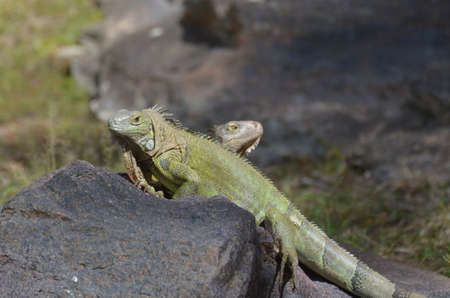 Pair of two iguanas facing away from each other.