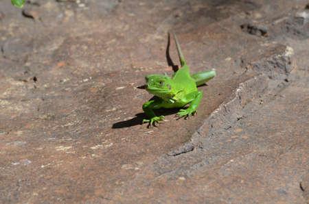 Green iguana walking across a warm rock. Stock Photo