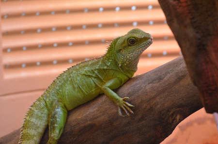 Iguana balancing along a tree branch. Stock Photo
