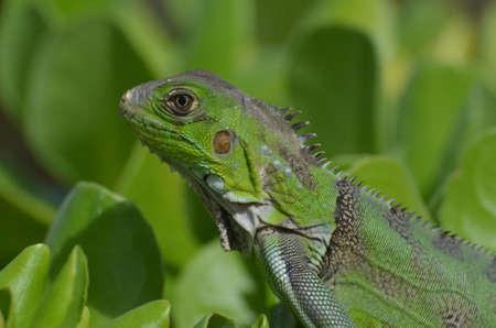 Macro of the face of a green iguana. Stock Photo