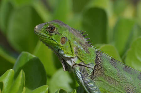 aruba: Macro of the face of a green iguana. Stock Photo