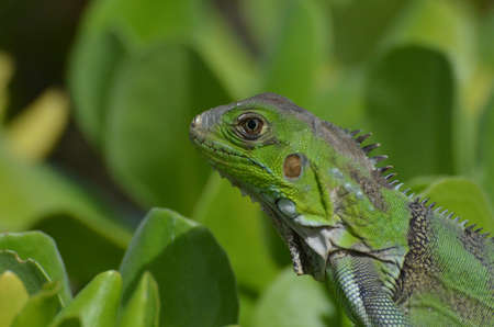A quick up close look at a green iguana in a shrub.