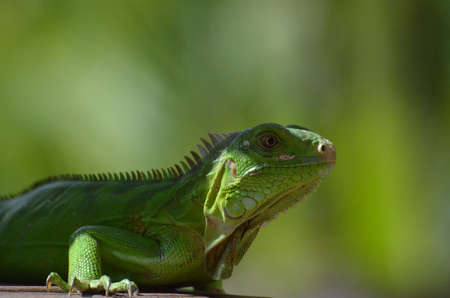 Amazing look at a green iguana in the wild.