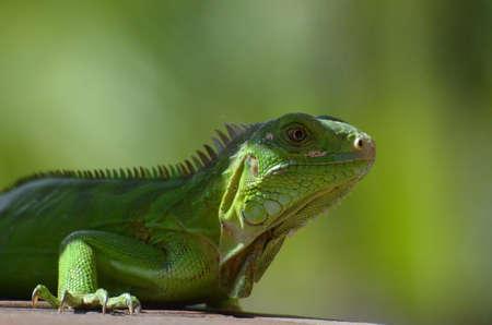 Arubas green iguana hanging out in the sunshine.