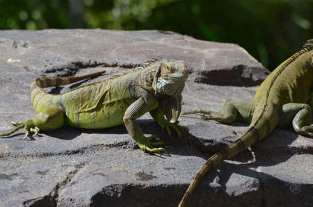 Iguana perched on the top of a rock warming in the sunshine.