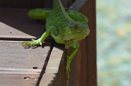 reptilian: Green iguana perched on the edge of a bridge.