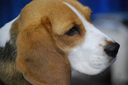 Up close with a cute beagle pup. Stock Photo