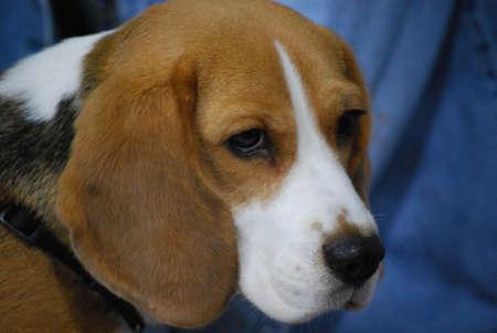 Beagle puppy looking very sad.