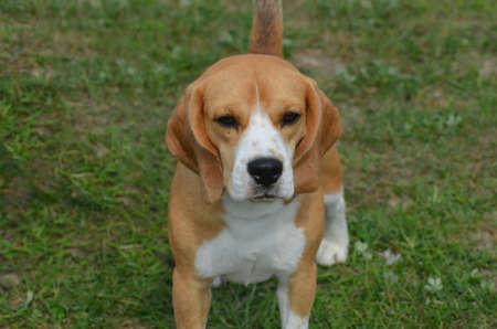 Cute face of a beagle sitting in grass.