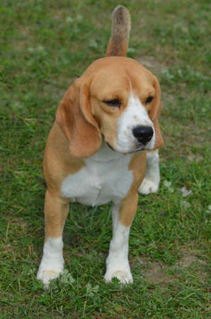Adorable beagle puppy dog sitting in grass.