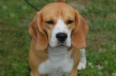 Really precious beagle dog sitting.