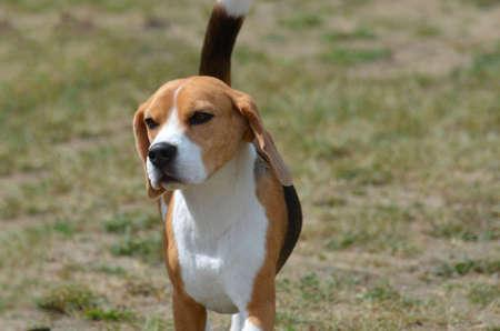 Sweet faced beagle puppy dog.