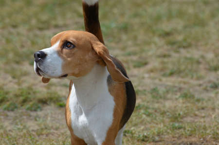 Really cute beagle dog looking off into space.