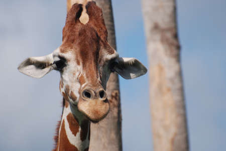 Beautiful the face of a giraffe up close. Stock Photo