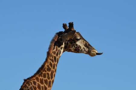A giraffe with his tongue out against a blue sky.