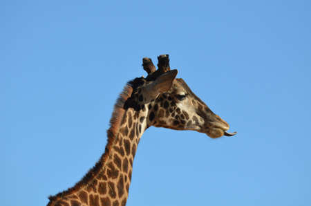 Great side view of a giraffe with his tongue sticking out.