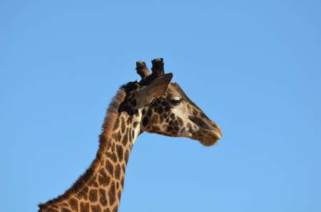Profile of a giraffe against a blue sky.