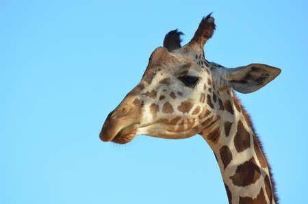 Great face of a giraffe against a blue sky.