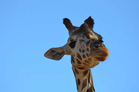 A blue sky with the face of a giraffe. Stock Photo