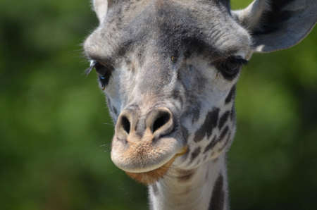An up close look at the face of a giraffe. Stock Photo