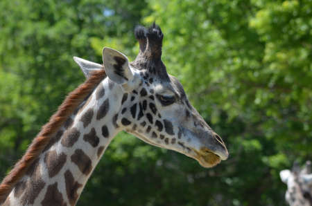 Great look at the profile of a giraffe. Stock Photo
