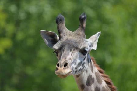 Great up close look at a giraffe.