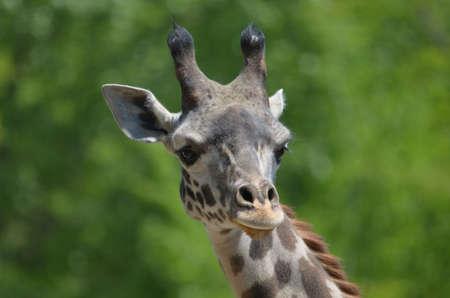 Great looking face of a giraffe.