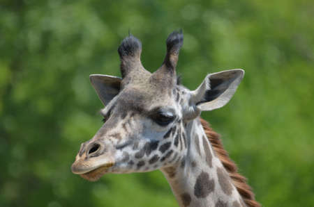 Giraffe with a very satisfied looking face.