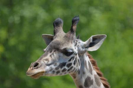 Lovely up close look at a giraffe.
