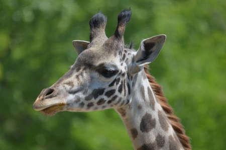 Great view of a wild giraffe profile.