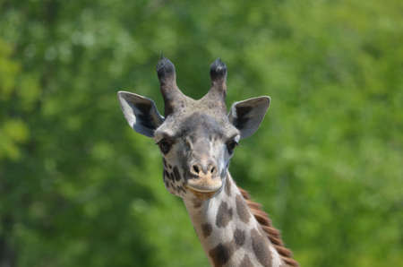 This giraffe is looking through you!