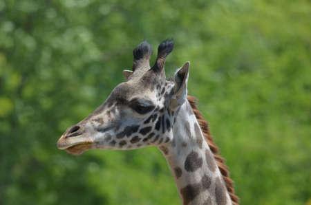 Great side profile of a giraffe.