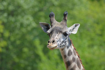 Young face of a giraffe with tiny horns.