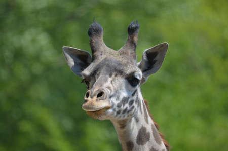 Cute face of a really great giraffe.