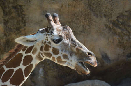Giraffe with his mouth very wide.