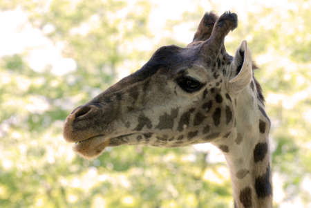 Amazing face of a giraffe in the wild.