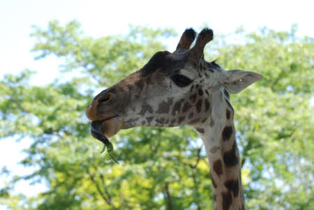 Giraffe with his tongue wrapping around a tree branch.