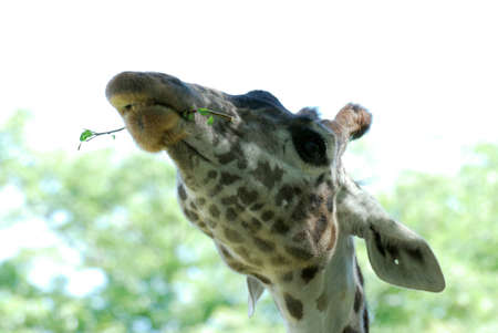 Giraffe eating a tree with leave shoots.