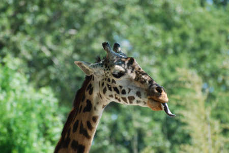 Long tongue sticking out of the giraffes mouth. Stock Photo