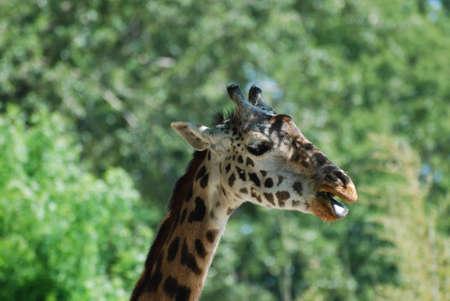 Mouth of a giraffe wide open. Stock Photo