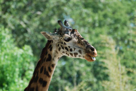Giraffe with his mouth slightly parted. Stock Photo