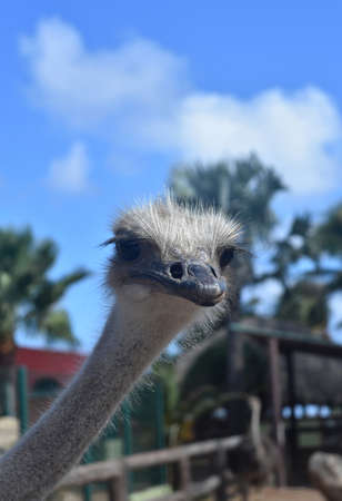 Adorable Ostrich with Neck Elongated