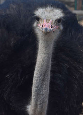 A long thin neckl on a fluffy black feathered common ostrich.